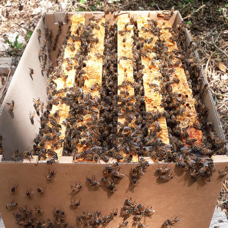 Essaim d'abeilles Buckfast...
