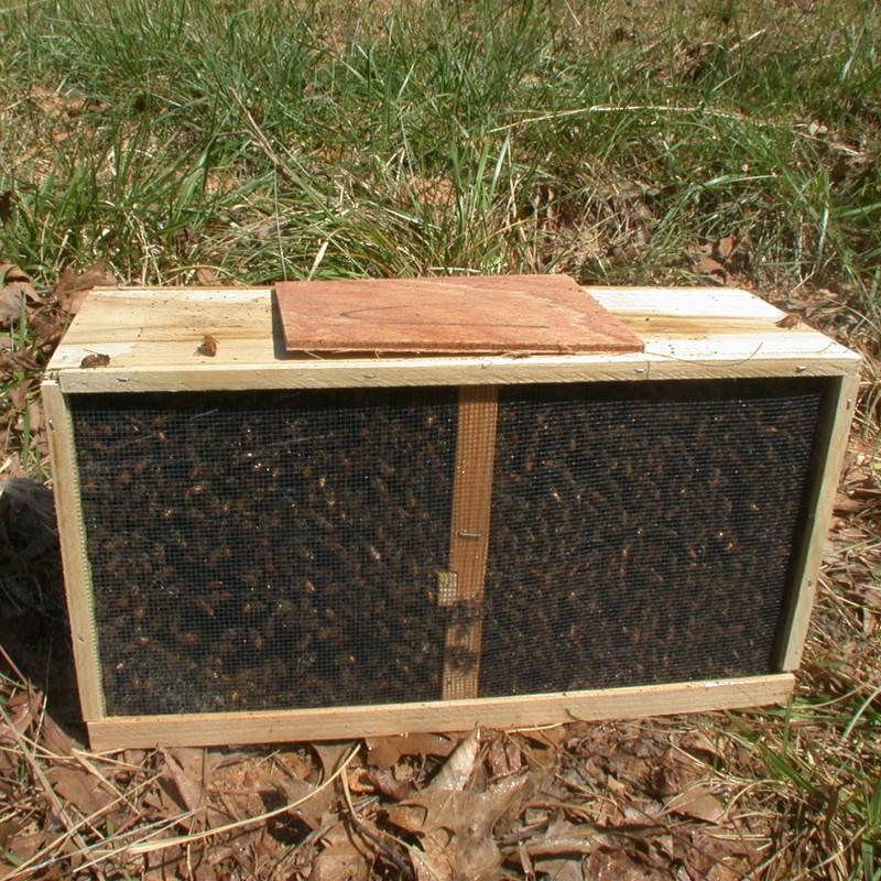 Essaims nus d'abeille Buckfast